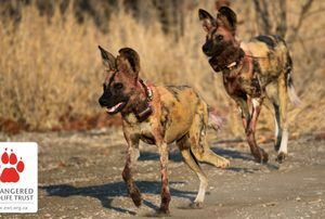 Who let the Dogs in? Endangered African Wild Dogs introduced into northern Kruger National Park